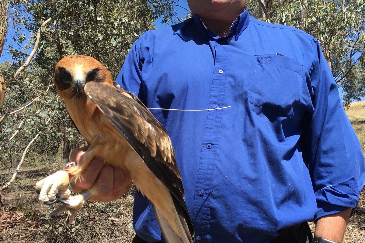 Another Little Eagle to be tracked as part of research study