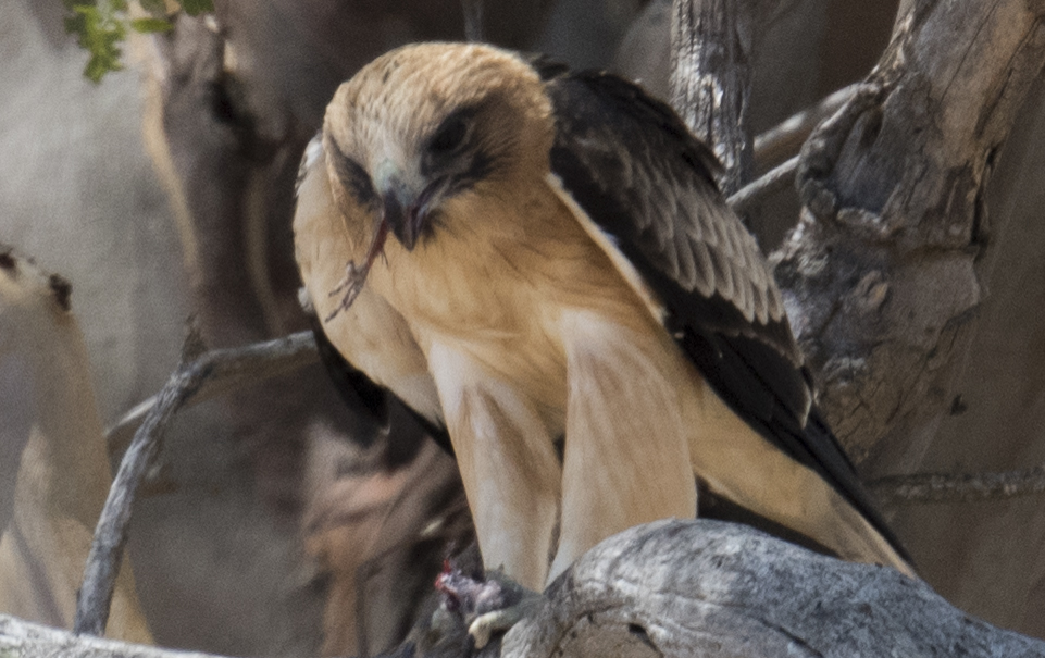 Canberra's Little Eagle travels a long way