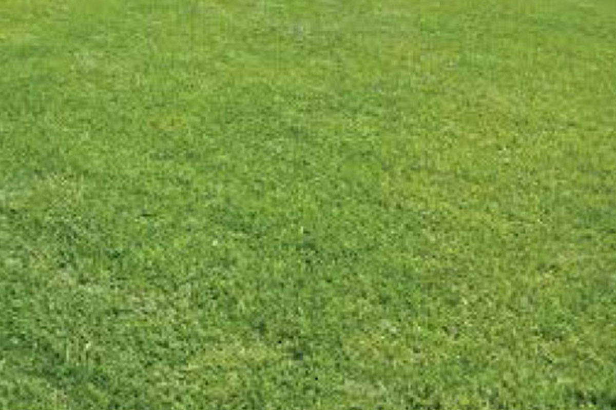 Canturf Canberra Blend (with clover)
