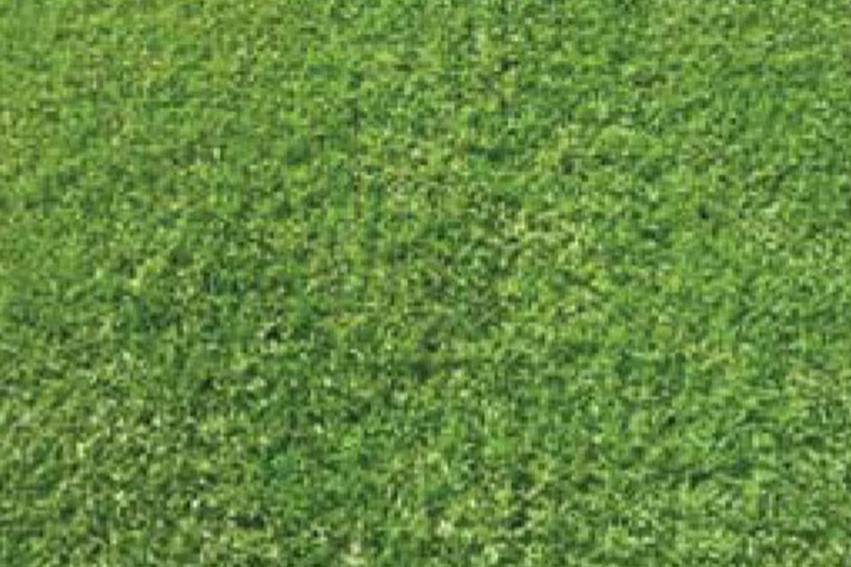 Kikuyu Village Green (sterile)
